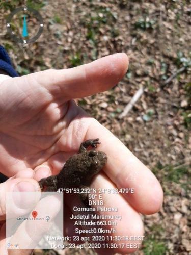 Bombina variegata Izvoras cu burta galbena