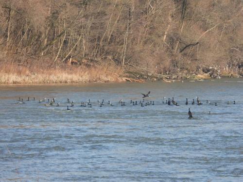 Cormorani mari pe Tisa