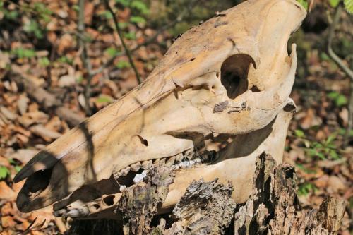 Craniu de porc mistret - Szakacs Zsolt - Apr2020 - 1