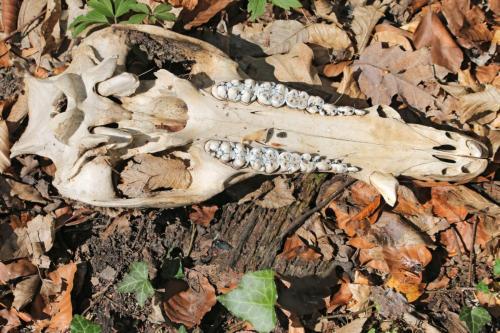 Craniu de porc mistret - Szakacs Zsolt - Apr2020 - 2