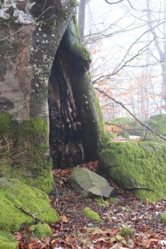 Fig. 15. Copac cu scorbura