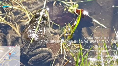Broasca bine camuflată pe malul lacului Teplite