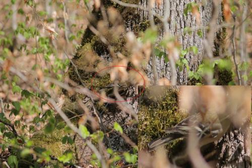Fringilla coelebs femela - Szakacs Zsolt - Apr2020