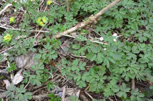 Isopyrum thalictroides & Chrysosplenium alternifolium