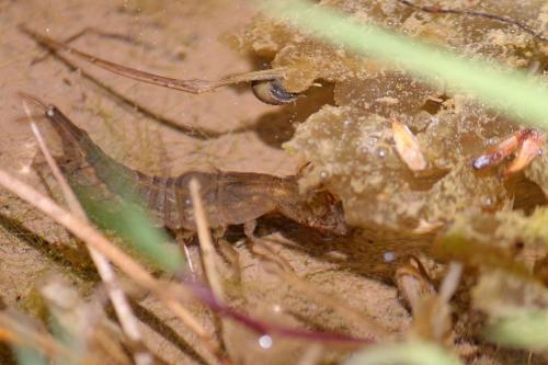 Larva de libelula-Szakacs-Mai2020