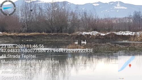 Lebede pe un inghetat lac din zona Teplițe