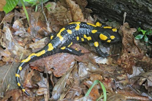 Salamandra salamandra-Szakacs-Mai2020