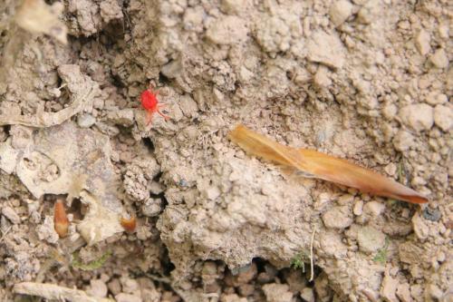 Trombidium holosericeum - Szakacs Zsolt - Apr2020