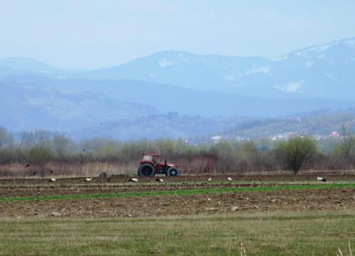 berzele albe se hrănesc intens pe terenurile agricole
