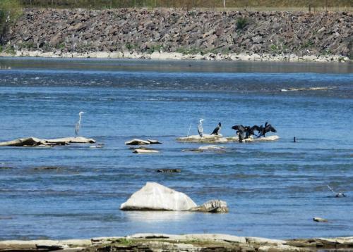 stârci cenuși și cormorani pe Tisa